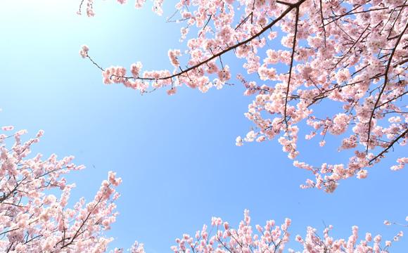 shizunai-sakura